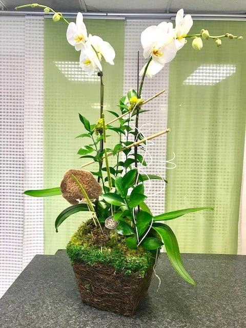 phalaenopsis duet orchid