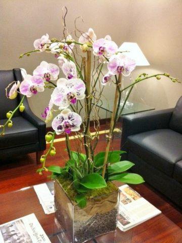 phalaenopsis quatro