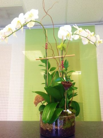 phalaenopsis twin stems orchid