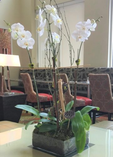 Phalaenopsis white orchid plant