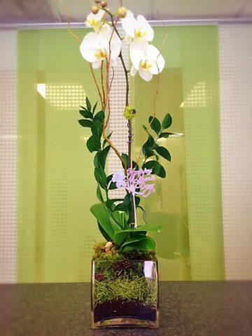 phalaenopsis single white